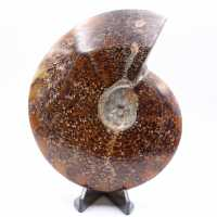 Grande ammonite fougère entière