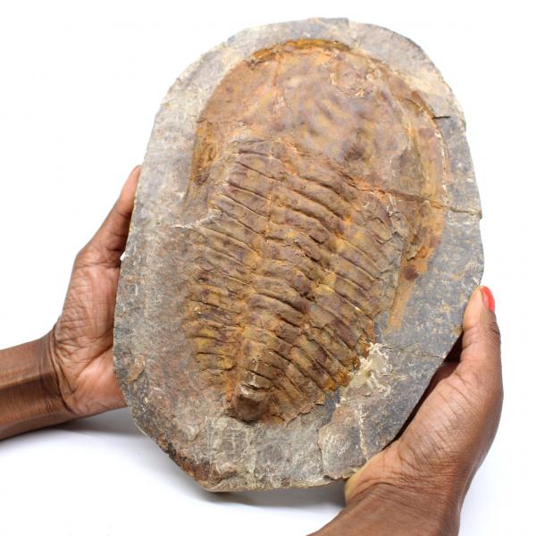 Groot trilobiet fossiel uit Marokko
