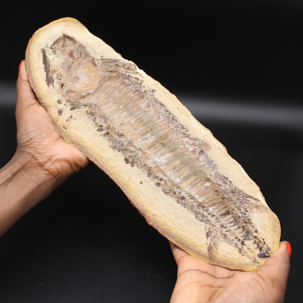 Large fish fossil