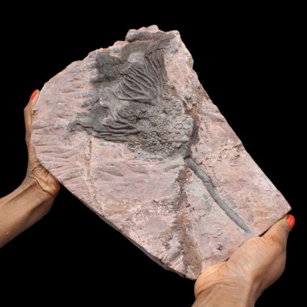 Crinoïde fossilisée, lys de mer, du Maroc